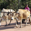 Oxen provide rural transport, Cambodia. Credit: New Zealand Ministry of Foreign Affairs and Trade