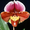 Paphiopedilum Washington Creek x John Haines