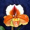 Paphiopedilum Danella x Anja