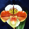 Paphiopedilum (World Exploit x Grand Combine)