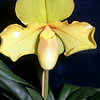 Paphiopedilum hangianum x Lippewunder