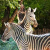 Angelleah and Zebrasv 2