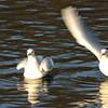 Starting gull