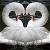 Siamese Swans
