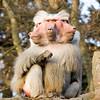 Baboon composite