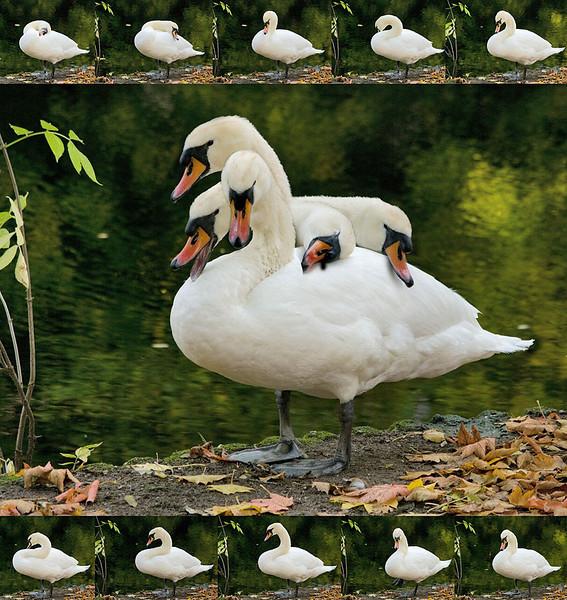 Swan-O-Rama