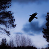 Blue Night Crow