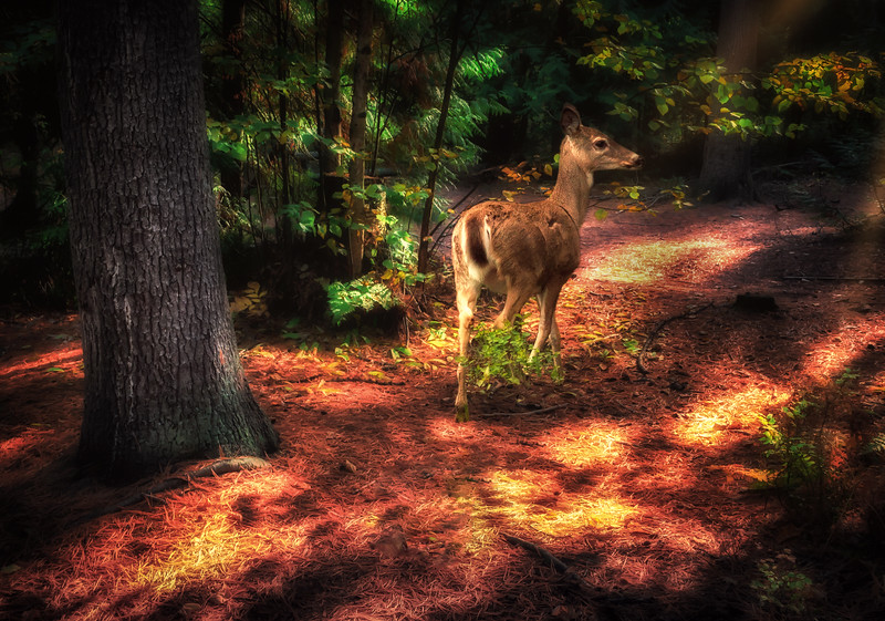 Doe in Morning Forest