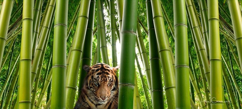 Tiger and Bamboo