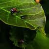 Ladybugs On Leaves