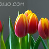 BCTHD110208-AF-1 - flowers - tulips