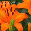 BCTHD110620-AE-1 - Flowers - Tiger Lily