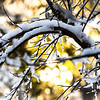 Branches bent by snow.