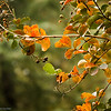 Crepe Myrtle in early Fall