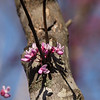 Redbud in April
