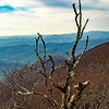 Craggy Tree 1