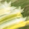 Swooping Daffodills