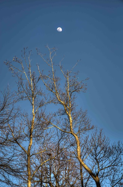 Moon with Bare Branches