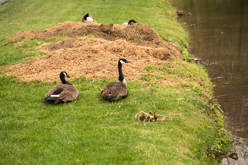 Momma and Goslings napping