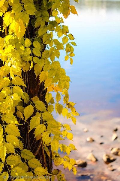 Yellowing Vines at Water's Edge