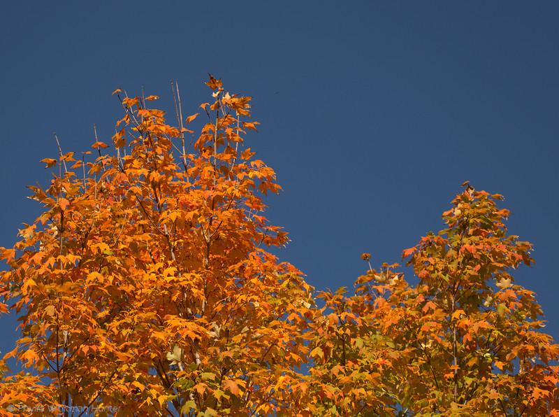 Maples Against a Clear Fall Sky
