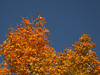 Maples Against a Clear Fall Sky