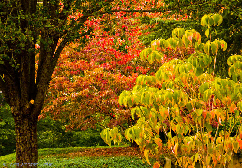 Colors of Dogwood Trees in Early Autumn