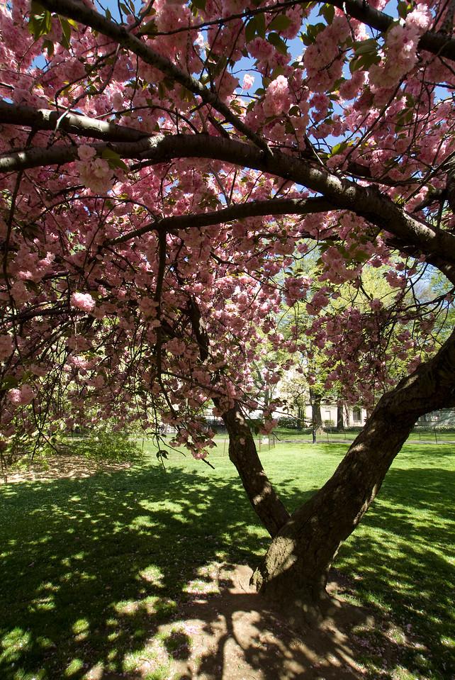Central Park Blossom 41