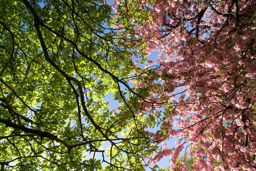 Central Park Blossom 36