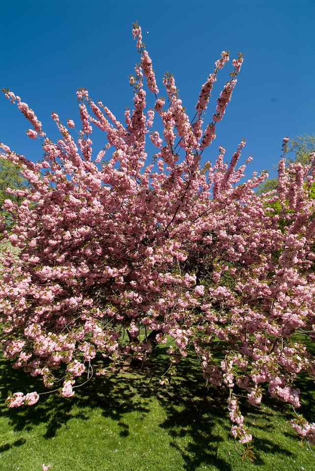 Central Park Blossom 45