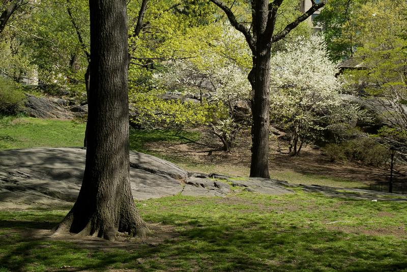 Central Park Blossom