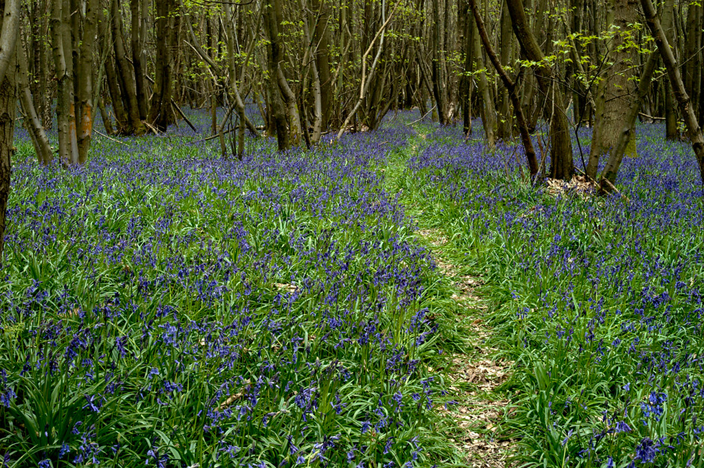 Bluebells 2010 15 copy
