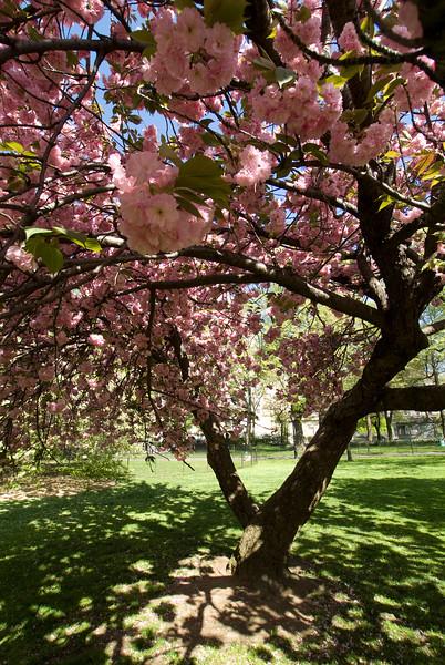 Central Park Blossom 43