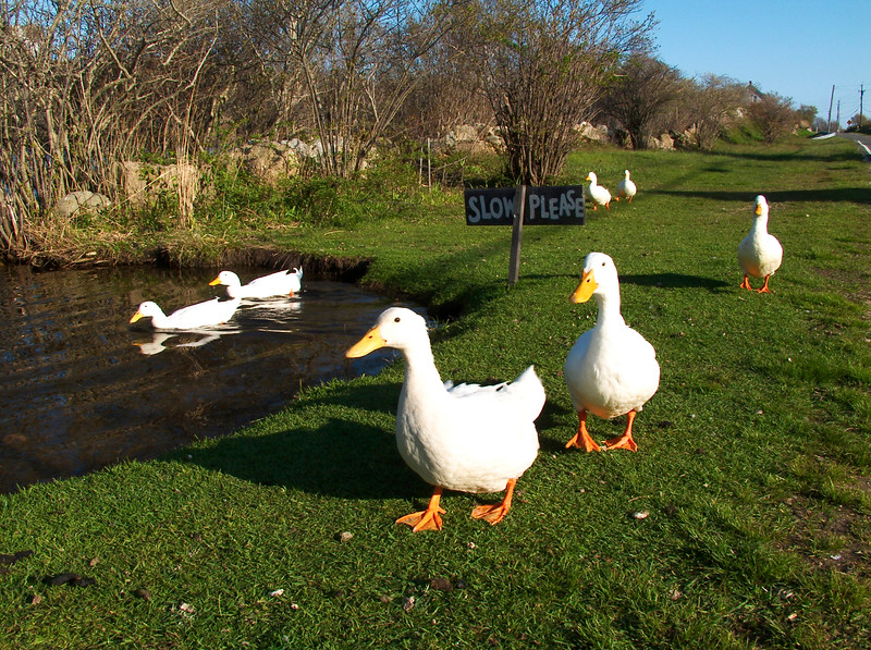 Ducks adhere to the sign!