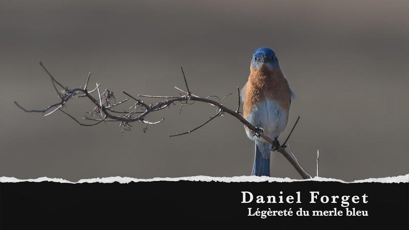 Daniel Forget Legerete du merle bleu