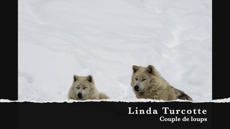 linda turcotte couple de loups