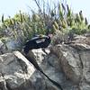 California condor<br /> Just below Seven Pines on Highway 1