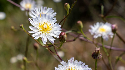 native white cliff aster