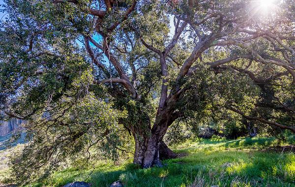 morning sun shines through ancient live oak