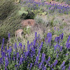 Purple Lupine in the Verde River Valley