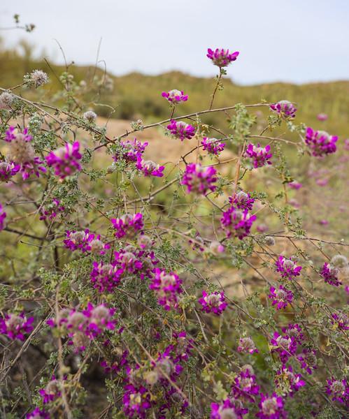 Small Round Purplish Pink Wildflowers in Arizona