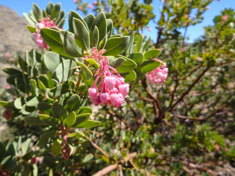 Pointleaf Manzanita Flowers
