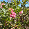 Pointleaf Manzanita Flowers