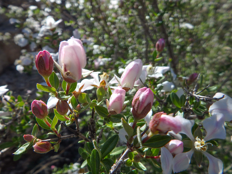 Pink Blossoms and White Flowers on Desert Bush