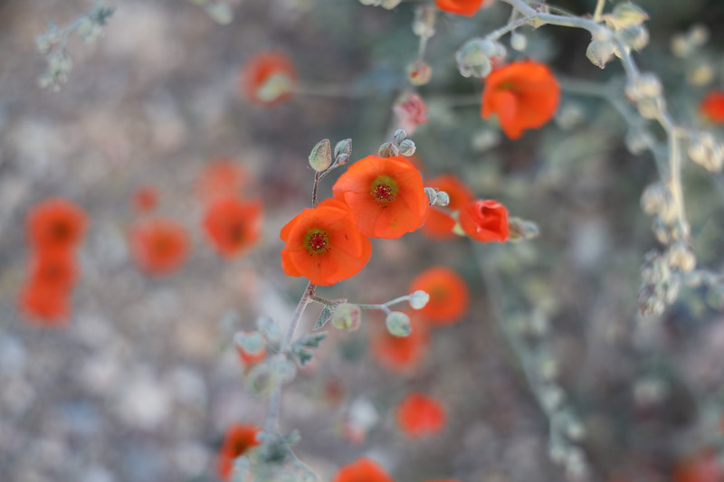 Desert Orange Globemallow Wildflowers