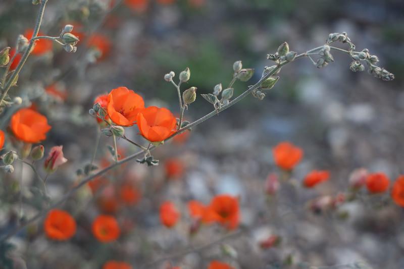 Desert Orange Globemallow Wildflowers