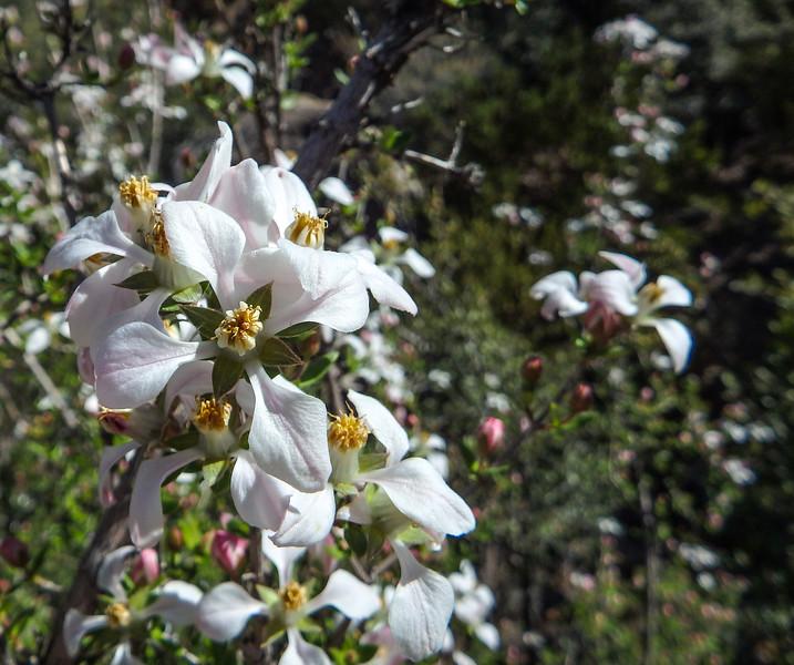 White Flowers on Desert Bush