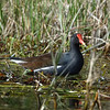 Adult Common Gallinule