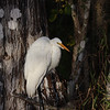 Great Egret in the Shadows of Cypress Trees