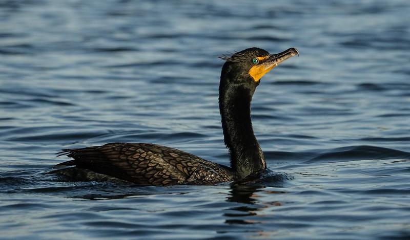 Cormorant Swimming in King's Bay